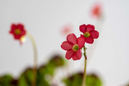 Oxalis tetraphylla beautiful flowering bulbous plants, four-leaved pink sorrel flowers in bloom, flower head and buds detail Standard-Bild