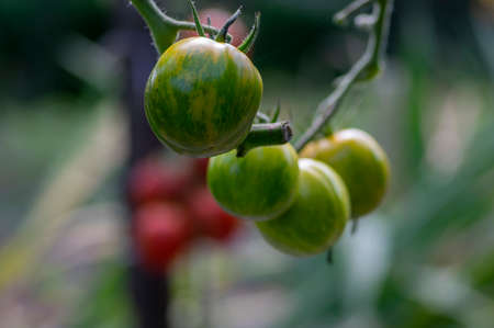 Ripening yellow green tomatoes called zebra in garden, ready to harvest, green and yellow brindle