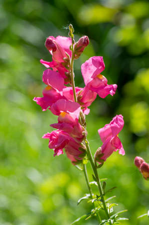 Antirrhinum majus bright colorful flowering plant, group of snapdragon flowers in bloom, green leaves, buds and stem