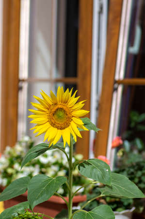 Helianthus annuus common sunflowers in bloon in front of wooden window, big beautiful flowering plant, green stem and foliage
