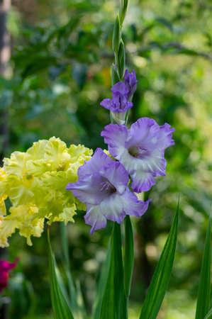 Gladiolus hortulanus garden ornamental plant in bloom, blue violet flowering flowers on long tall green stem, buds on the top