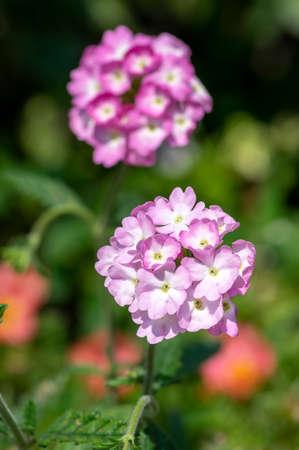 Verbena hybrida vervain ornamental colorful garden flowers in bloom, beautiful flowering plants, green leaves