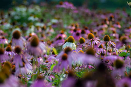 Echinacea purpurea flowering coneflowers, group of ornamental medicinal plants in bloom, spiny center