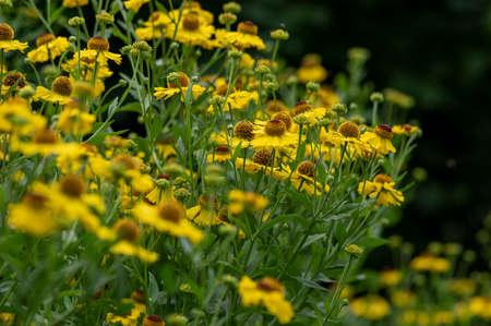 Helenium autumnale common sneezeweed in bloom, bunch of yellow brown flowering flowers, green leaves