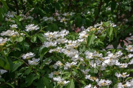 Viburnum plicatum flowering spring white flowers, beautiful ornamental Japanese snowball shrub in bloom, green fresh leaves on branches