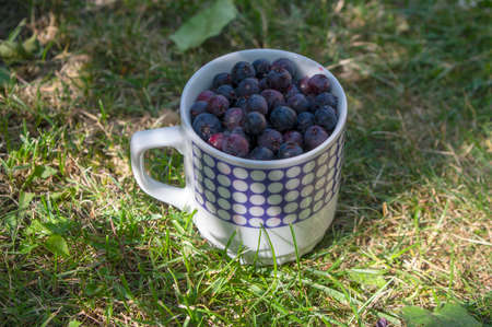 Amelanchier ripened fruits serviceberries in retro ceramic mug, harvested tasty shadbush juneberry in green grass on the lawn Imagens