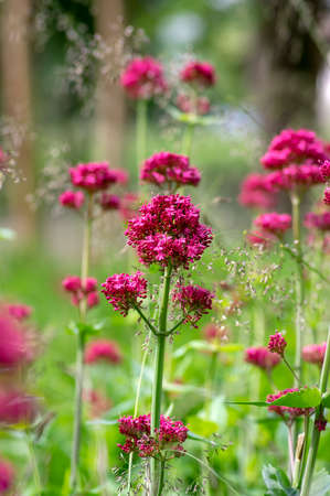 Centranthus ruber flowering plant, bright red pink flowers in bloom, green stem and leaves, beautiful ornamental flower