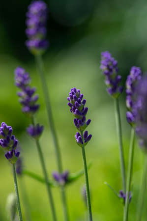 Lavandula angustifolia bunch of flowers in bloom, purple blue violet scented flowering plants, green background Stockfoto