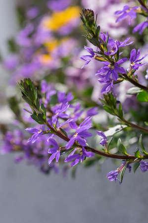 Scaevola aemula fairy fan-flower purple violet flowering ornamental plant, group of beautiful flowers in bloom, green leaves Stockfoto