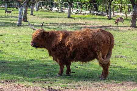 Highland cattle cow on pasture, very huge and hairy animal with long horns, cute mammal Stockfoto