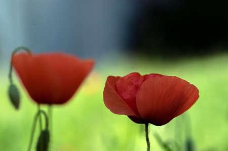 Papaver rhoeas common poppy seed bright red flowers in bloom, group of flowering plants on meadow, wild field plants Stockfoto