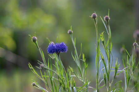 Centaurea cyanus blue cultivated flowering plant in ornamental garden, group of beautiful cornflowers flowers in bloom Stockfoto