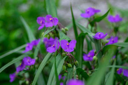 Tradescantia virginiana the Virginia spiderwort purple violet flowering plants, three petals flowers in bloom, green leaves and buds Stockfoto