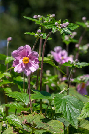 Anemone hupehensis japonica beautiful flowerin plant, flowers with pale pink petals and yellow center in bloom, green leaves