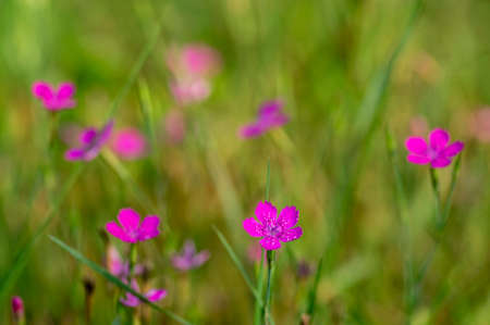 Dianthus deltoides meadow bright pink flower flowers in bloom, small grassland plants in bloom in green grass