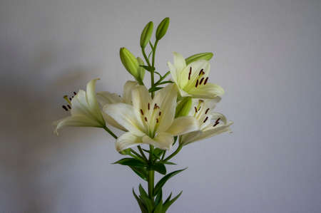 Lilium flowers in bloom, asiatic hybrids ornamental cultivated, flowering lilies, bouquet in bloom, buds and flowers with petals, green leaves