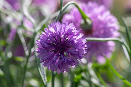 Centaurea cyanus purple cultivated flowering plant in ornamental garden, group of beautiful cornflowers flowers in bloom
