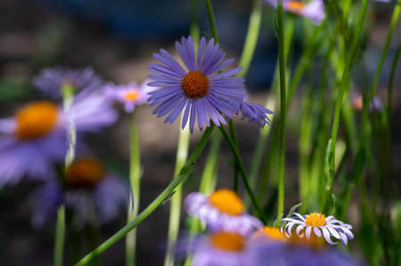 Aster tongolensis beautiful groundcovering flowers with violet purple petals and orange center, flowering plant in bloom, green background Stockfoto