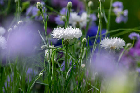 Centaurea cyanus white cultivated flowering plant in the garden, group of beautiful cornflowers flowers in bloom, green background Stockfoto