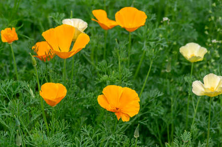 Eschscholzia californica cup of gold yellow white and bright orange color flowers in bloom, californian field, ornamental wild flowering plants on a meadow Stockfoto