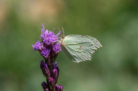 Gonepteryx rhamni butterfly sitting on Liatris spicata deep purple flowering flowers, beautiful animal with yellow white wings Stockfoto