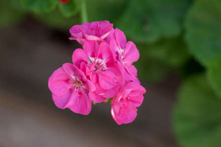 Pelargonium zonale cultivated ornamental pot flowering plant, group of purple pink flowers in bloom, green stem and group of buds
