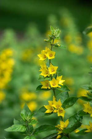 Lysimachia punctata bright yellow dotted loosestrife flowering plant, group of beautiful flowers in bloom, buds and green leaves on a stem