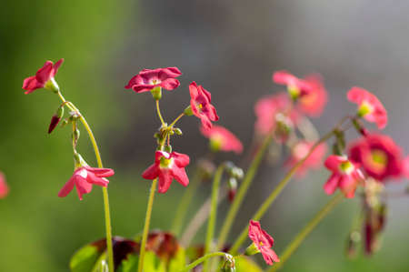 Oxalis tetraphylla beautiful flowering bulbous plants, four-leaved pink sorrel flowers in bloom, flower head and buds detail