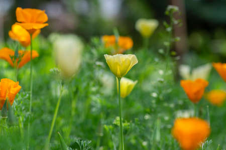 Eschscholzia californica cup of gold flowers in bloom, californian field, ornamental wild flowering plants on a meadow, white yellow and orange color