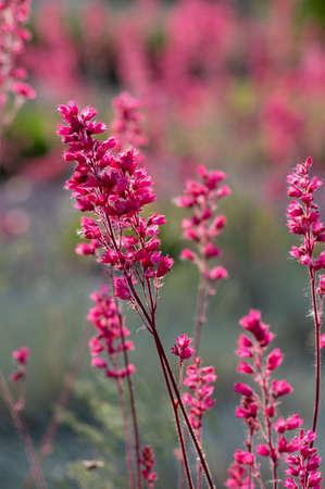 Heuchera sanguinea beautiful ornamental spring flowering plant, bright red pink flower in bloom, bunch of flowers on stem in the garden Stockfoto