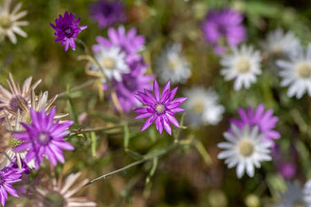 Xeranthemum annuum white and violet immortelle flowers in bloom, group of flowering plants in the garden, used for dry decorations Stockfoto