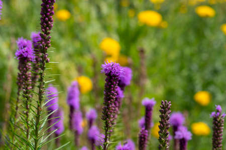 Liatris spicata deep purple flowering plant, group of flowers on tall stem in bloom, green background