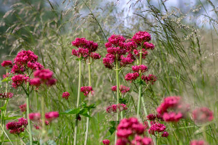 Centranthus ruber flowering plant, bright red pink flowers in bloom, green stem and leaves, beautiful ornamental flower 写真素材