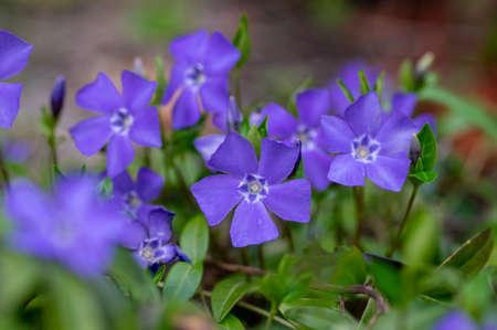 Vinca minor lesser periwinkle ornamental flowers in bloom, common periwinkle flowering plant, creeping flowers on the ground in daylight