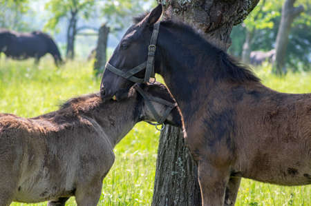 Dark old kladruby horses on pasture on meadow with trees, young baby foal animal with their mothers in tall grass, beautiful natural scenery