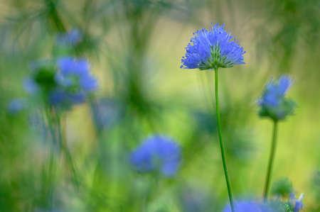 Gilia capitata blue beautiful flowering plant, blue-thimble-flowers in bloom, amazing wildflower, blue field gilia flower heads