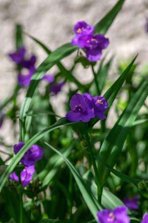 Tradescantia virginiana the Virginia spiderwort purple violet flowering plants, three petals flowers in bloom, green leaves and buds Imagens