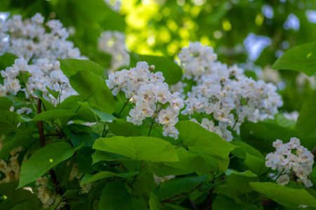 Catalpa bignonioides medium sized deciduous ornamental flowering tree, branches with groups of white cigartree flowers, buds and green leaves