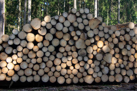 Cutting of the trees, bark beetle calamity, conifer tree logs firewood on pile in woodland, ready for transportation