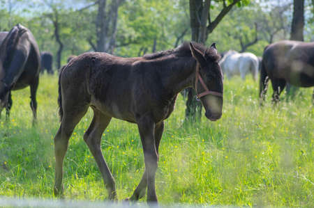 Dark old kladruby horses on pasture on meadow with trees, young baby foal animal with their mothers in tall grass, beautiful natural scenery Фото со стока