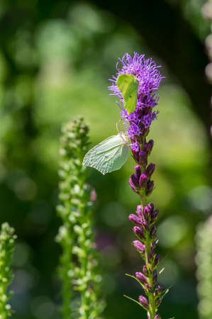 Gonepteryx rhamni butterfly sitting on Liatris spicata deep purple flowering flowers, beautiful animal with yellow white wings pollination flower heads