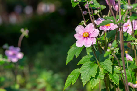 Anemone hupehensis japonica beautiful flowerin plant, flowers with pale pink petals and yellow center in bloom, green leaves Stock Photo