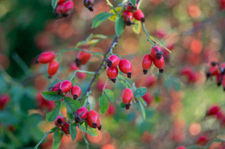 Ripened fresh rose hips on shrub branches, red healthy fruits of Rosa canina plant, late autumn harvest time 版權商用圖片