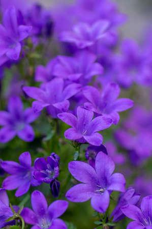 Campanula portenschlagiana bellflowers plants in bloom, deep purple dalmatian bellflower flowering flowers, beautiful rockplant