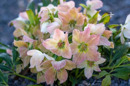 Helleborus niger white pink early winter flowering plant, amazing mountain ornamental flowers in bloom