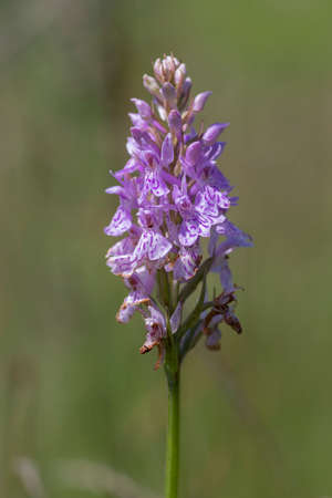 Dactylorhiza fuchsii common spotted orchid flowers in bloom, amazing beautiful purple white wild flowering plants on highlands meadow