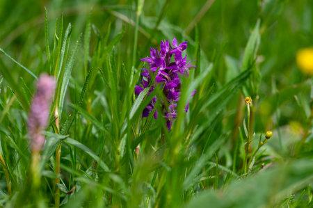 Dactylorhiza majalis wild flowering orchid flowers on meadow, group of bright purple flowers in bloom in green grass