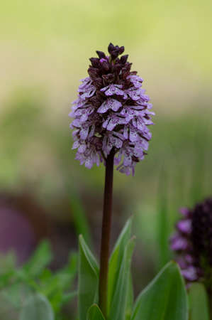 Lady orchid Orchis purpurea flowering protected plants, beutiful purple white flowers in bloom on tall green stem also with buds
