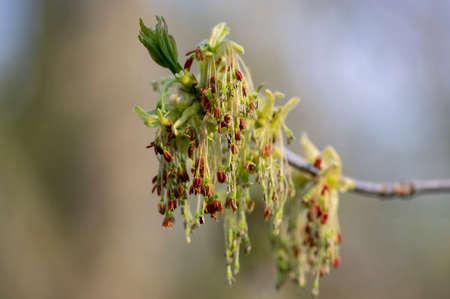 Acer negundo manitoba boxelder maple male purple yellow white flowers, detail of flowering branches, green leaves