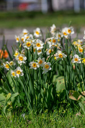 Narcissus tazetta paperwhite bunch flowered daffodil in bloom, early spring flowering white yellow plant, green long leaves Standard-Bild